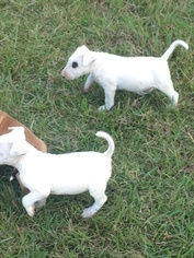 Bull Terrier Puppy For Sale in FLORENCE, SC, USA