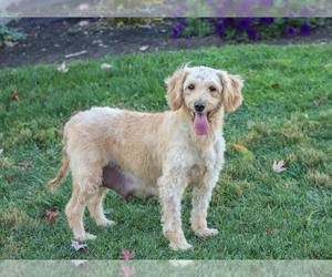 Mother of the Goldendoodle puppies born on 03/16/2021