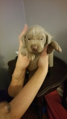 Weimaraner Puppy For Sale in SPRAKERS, NY