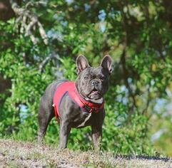 Father of the French Bulldog puppies born on 01/20/2019