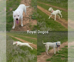 Dogo Argentino Puppy for sale in RYAN, OK, USA