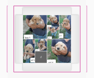 Goldendoodle Puppy for sale in CUSTER, KY, USA