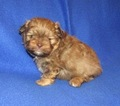 Shiranian Puppy For Sale in HOWE, OK, USA