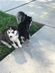 Siberian Husky Puppy For Sale in CHICAGO, IL