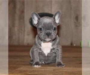 French Bulldog Dog for Adoption in WORCESTER, Massachusetts USA