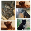 Cane Corso Puppy For Sale in ROCKFORD, OH