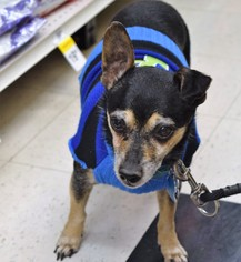 PeeWee - Jack Russell Terrier / Dachshund / Mixed (short coat) Dog For Adoption
