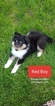 Collie Puppy For Sale in APPLEBY, SD, USA