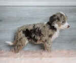 Small #1 Aussiedoodle