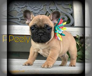 French Bulldog Puppy for Sale in GRANDVIEW, Washington USA