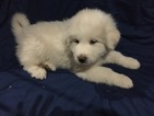 Great Pyrenees Puppy For Sale in ARCHBOLD, OH, USA