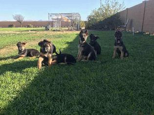 German Shepherd Dog Puppy For Sale in WITTMANN, AZ, USA