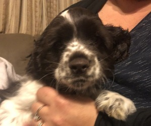 Cocker Spaniel Puppy for Sale in SAINT HENRY, Ohio USA