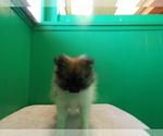 Puppy 11 Pomeranian