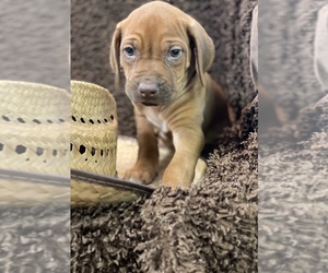 Rhodesian Ridgeback Puppy for Sale in BUCKEYE, Arizona USA