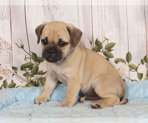 Medium Photo #1 Jug Puppy For Sale in PENNS CREEK, PA, USA