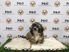 Shih Tzu Puppy For Sale in TEMPLE CITY, CA