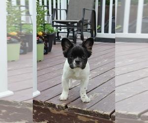 French Bulldog Dog for Adoption in St Jean-Sur-Richelieu, Quebec Canada
