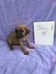 Rhodesian Ridgeback Puppy For Sale in OGLESBY, TX, USA