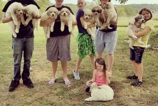 Great Pyrenees Puppy For Sale in TROY, MO, USA