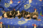 Original English Bulldogge Puppy For Sale in LOWELL, OR