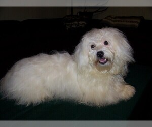 Coton de Tulear Puppy for Sale in HORSE BRANCH, Kentucky USA