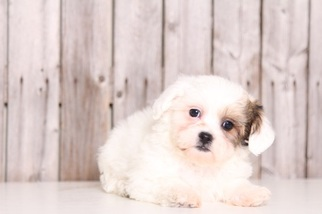 Zuchon Puppy For Sale in MOUNT VERNON, OH