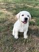 Labrador Retriever Puppy For Sale in SENECA, Kansas,