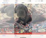 Small Photo #2 Cane Corso Puppy For Sale in ELBERFELD, IN, USA
