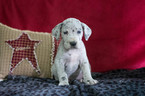 Great Dane Puppy For Sale in CUYAHOGA FALLS, OH, USA