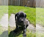 Small #20 Mastiff