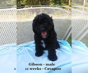Cavapoo Puppy for sale in CLARKRANGE, TN, USA