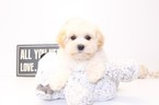 Maltipoo Puppy For Sale in NAPLES, FL