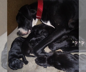 Mother of the Great Dane puppies born on 08/08/2020