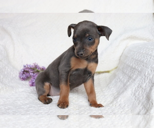 Miniature Pinscher Dog for Adoption in SHILOH, Ohio USA