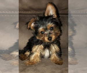 Yorkshire Terrier Puppy for sale in ROCKY MOUNT, NC, USA