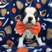 Boston Terrier Puppy For Sale in BIRD IN HAND, PA, USA