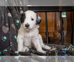 Puppy 8 F2 Aussiedoodle