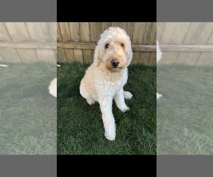 Mother of the Goldendoodle puppies born on 11/28/2020