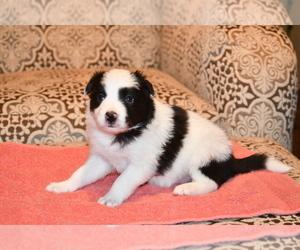 Border Collie Puppy for Sale in LAKE DALLAS, Texas USA