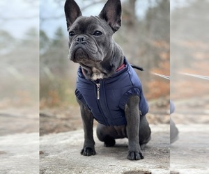 French Bulldog Puppy for Sale in BOSTON, Massachusetts USA