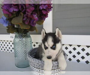 Siberian Husky Puppy for sale in DETROIT, MI, USA