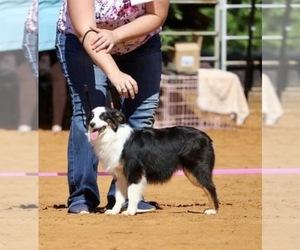 Mother of the Miniature Australian Shepherd puppies born on 09/18/2020