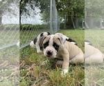 Small #22 American Bulldog
