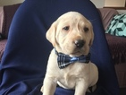 Labrador Retriever Puppy For Sale in EAST EARL, PA