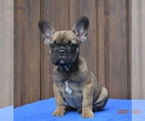 French Bulldog Dog for Adoption in Soltvadkert, Bacs-Kiskun Hungary