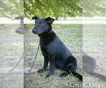 Small #54 Australian Shepherd