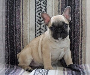 View Ad English Bulldog French Mix Puppy For