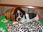 Dachshund Puppy For Sale in BHAM, AL
