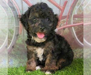 Maltipoo Puppy for sale in ARTHUR, IL, USA